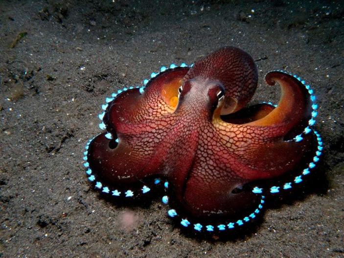 Светящиеся осьминоги • Александр Мироненко • Научная картинка дня на «Элементах» • Зоология